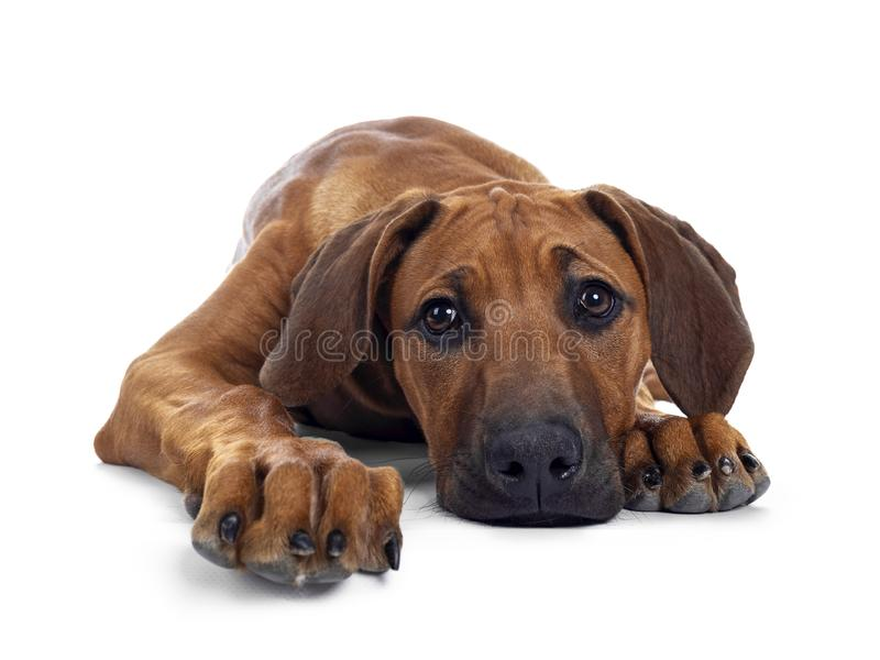 Sweet Rhodesian Ridgeback puppy on white. Cute wheaten Rhodesian Ridgeback puppy dog with dark muzzle, laying down facing front. Looking at camera with sweet stock photos
