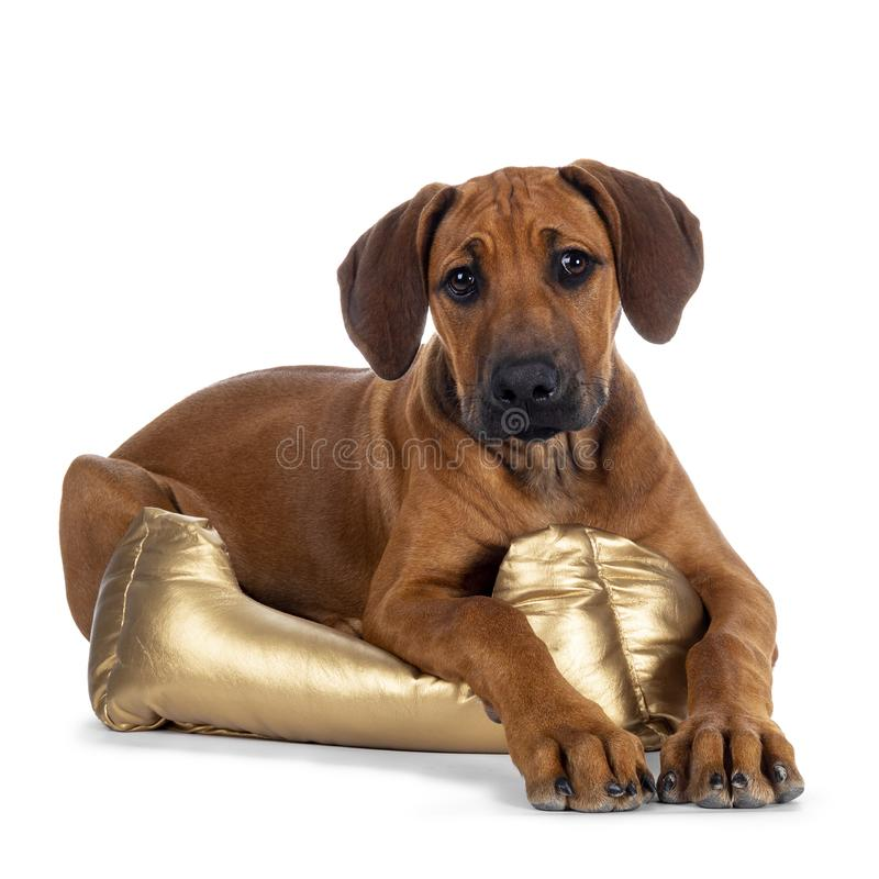 Sweet Rhodesian Ridgeback puppy on white. Cute wheaten Rhodesian Ridgeback puppy dog with dark muzzle, laying down side ways  facing front with  in golden basket stock image