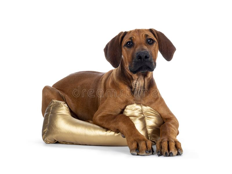 Sweet Rhodesian Ridgeback puppy on white. Cute wheaten Rhodesian Ridgeback puppy dog with dark muzzle, laying down side ways  facing front with  in golden basket royalty free stock images