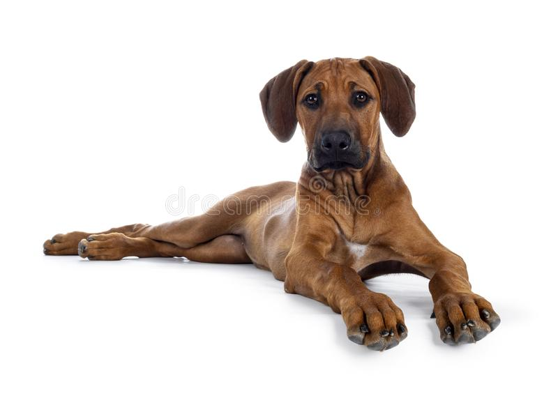 Sweet Rhodesian Ridgeback puppy on white. Cute wheaten Rhodesian Ridgeback puppy dog with dark muzzle, laying down side ways facing front. Looking at camera with stock photos