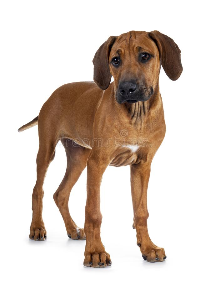 Sweet Rhodesian Ridgeback puppy on white. Cute wheaten Rhodesian Ridgeback puppy dog with dark muzzle, standing half side ways  facing front with  in golden stock photo