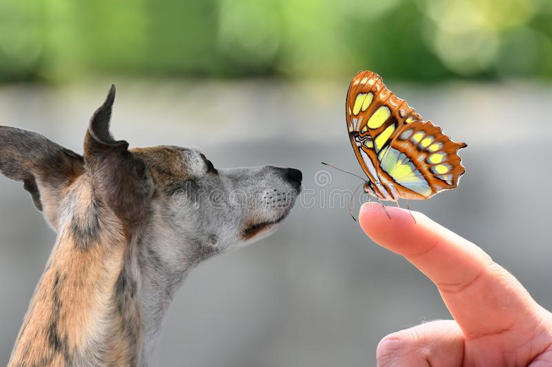 Cute whippet attentively watching a butterfly. Portrait of a whippet dog watching a butterfly The whippet belongs to the race of the sighthounds and is closely stock photo