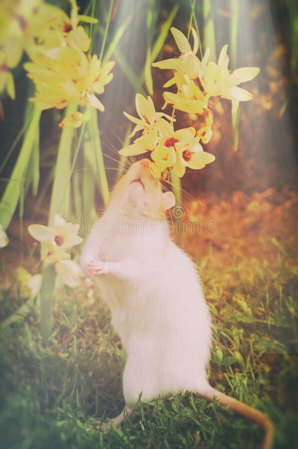 Free Cute White And Tan Rat Smelling Flowers Royalty Free Stock Photography - 191277017