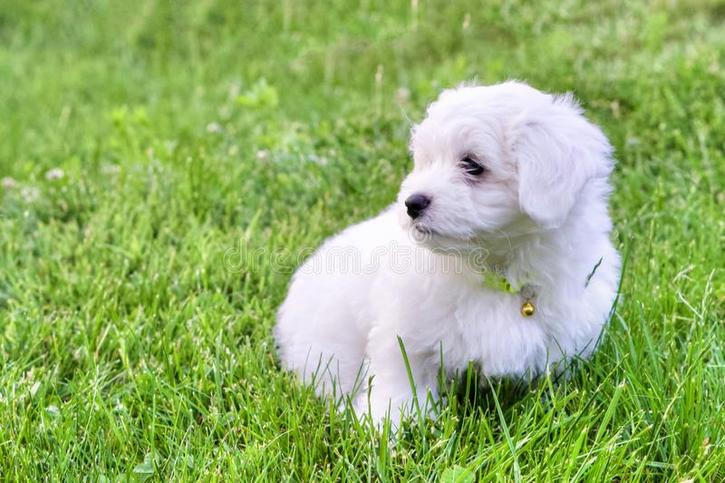 Cute white Bichon puppy sitting in grass in summer day. Adorable white and fluffy Bichon Frise pure breed small puppy sitting in the grass, in a summer day. Copy stock photos
