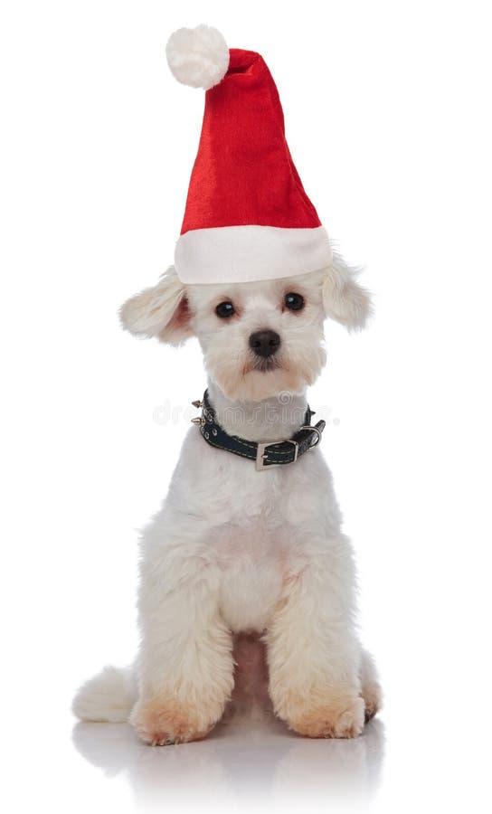 Cute white bichon wearing a santa hat sitting royalty free stock photography