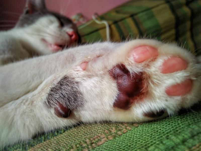Cute white  Cat and Pink Paws royalty free stock image