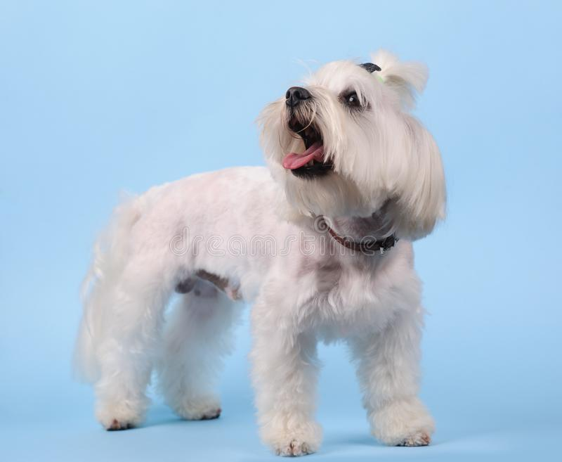 cute white dog on a blue background royalty free stock images