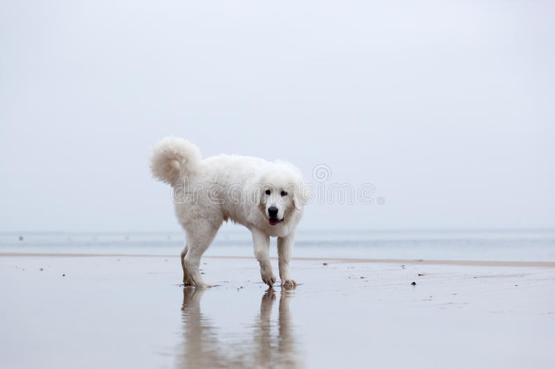 Cute white dog playing on the beach. stock photos