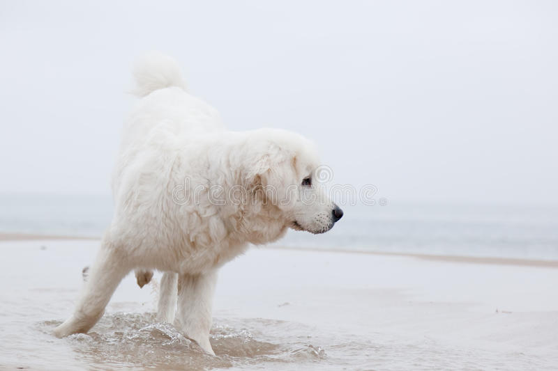 Cute white dog playing on the beach stock photos
