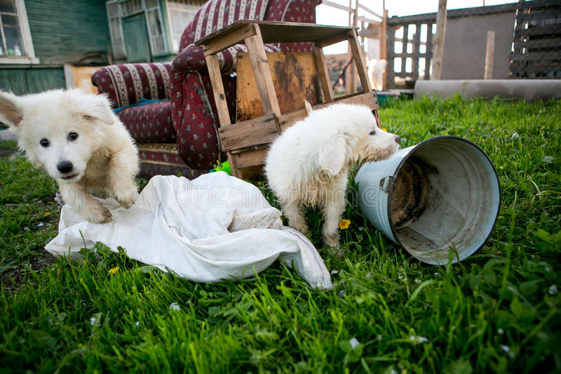 Cute white dog puppies royalty free stock image