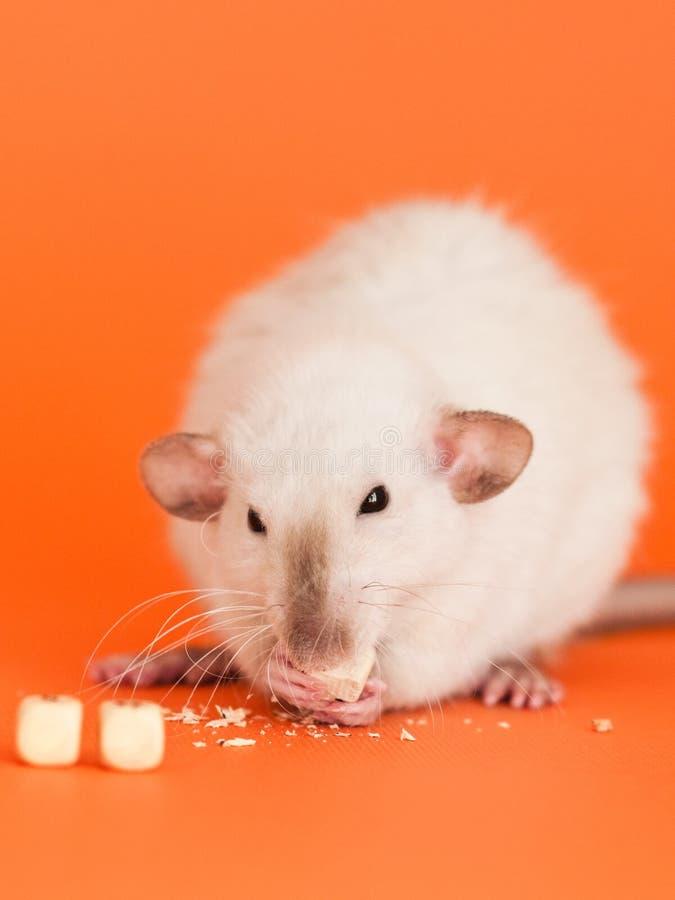 Fancy rat eatting cube beads on orange background. Cute white dumbo fancy rat eatting one of three cube beads for letters on orange background to put text stock images