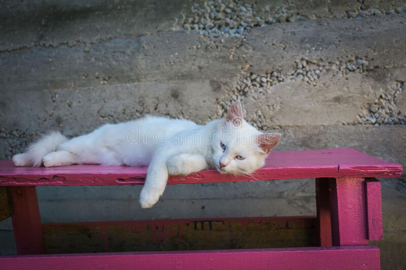 White cat on pink bench royalty free stock photo