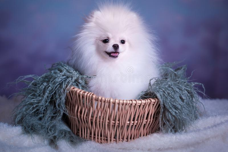 Cute White fluffy puppy. Pomeranian spitz on light blue background royalty free stock images