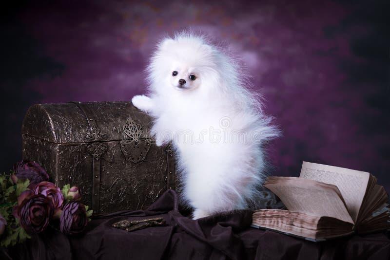 Cute White fluffy puppy. Pomeranian spitz on dark violet background royalty free stock images