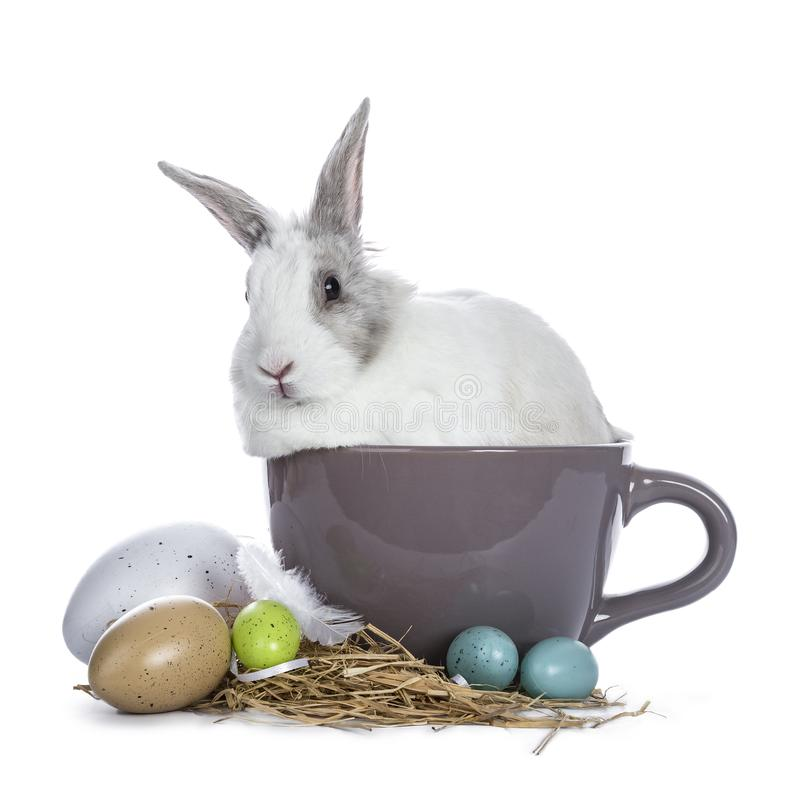Cute white with grey rabbit. Sitting in ceremic cup with colorful easter eggs facing camera isolated on white background royalty free stock image