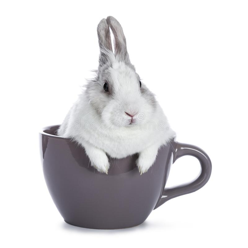 Cute white with grey rabbit. Sitting in ceremic cup isolated on white background stock image