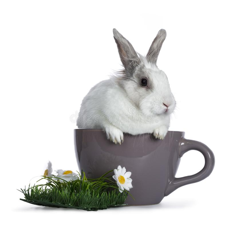 Cute white with grey rabbit. Sitting in ceremic cup with plastic grass and daisy`s isolated on white background royalty free stock photo