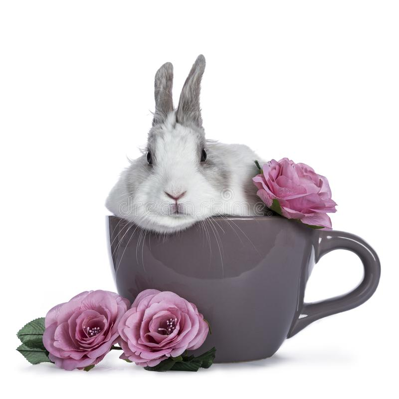 Cute white with grey rabbit. Sitting in ceremic cup with romantic pink roses isolated on white background royalty free stock photos