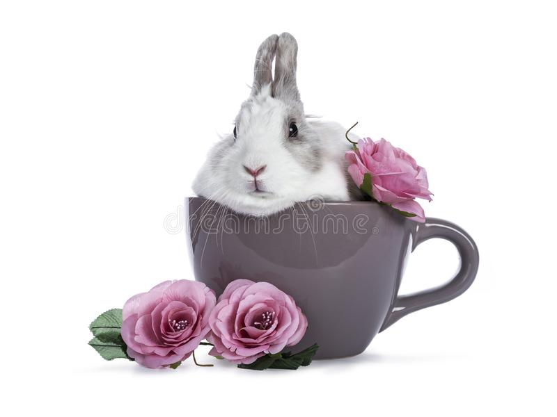 Cute white with grey rabbit. Sitting in ceremic cup with romantic pink roses isolated on white background royalty free stock image