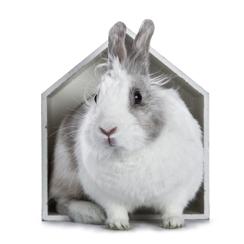 Cute white with grey rabbit. Sitting in white wooden house isolated on white background stock images