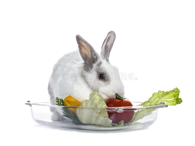 Cute white with grey shorthair bunny. Laying in glass tray with lettuce and tomato isolated on white background facing camera stock photo