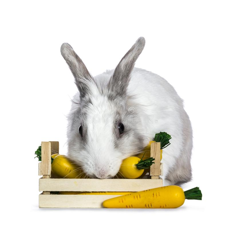 Cute white with grey shorthair bunny. Sitting / laying behind / eating from wooden box with fake carrots isolated on white background facing camera stock images