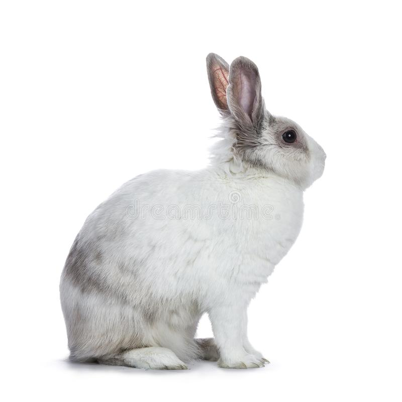 Cute white with grey shorthair bunny. Sitting side ways isolated on white background looking to the side stock photo