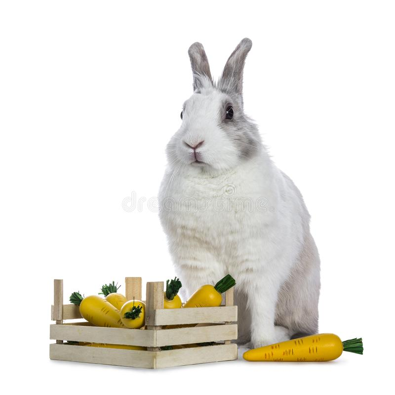 Cute white with grey shorthair bunny. Sitting up behind wooden box with fake carrots isolated on white background facing camera stock image