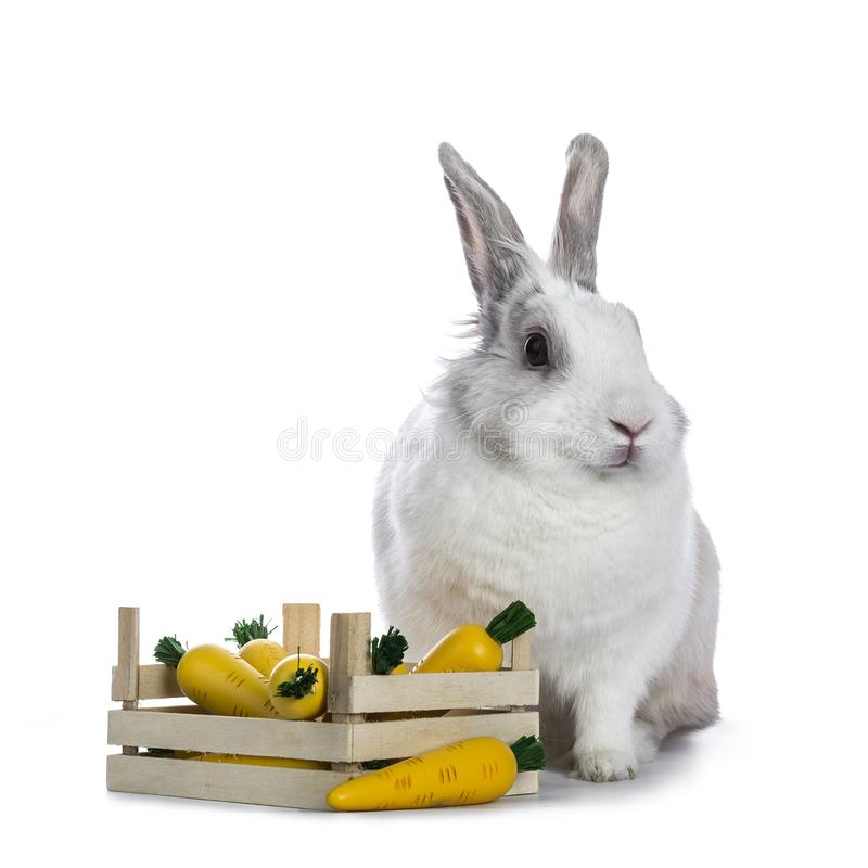 Cute white with grey shorthair bunny. Sitting beside wooden box with fake carrots isolated on white background facing camera stock photo