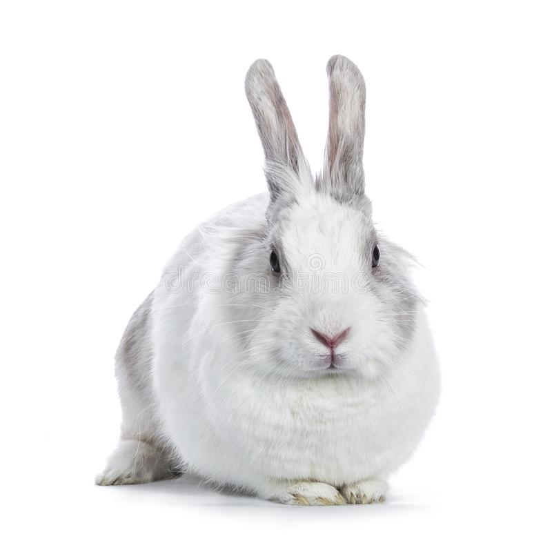 Cute white with grey shorthair bunny sitting. Cute white with grey shorthair bunny laying down facing camera isolated on white background stock photography