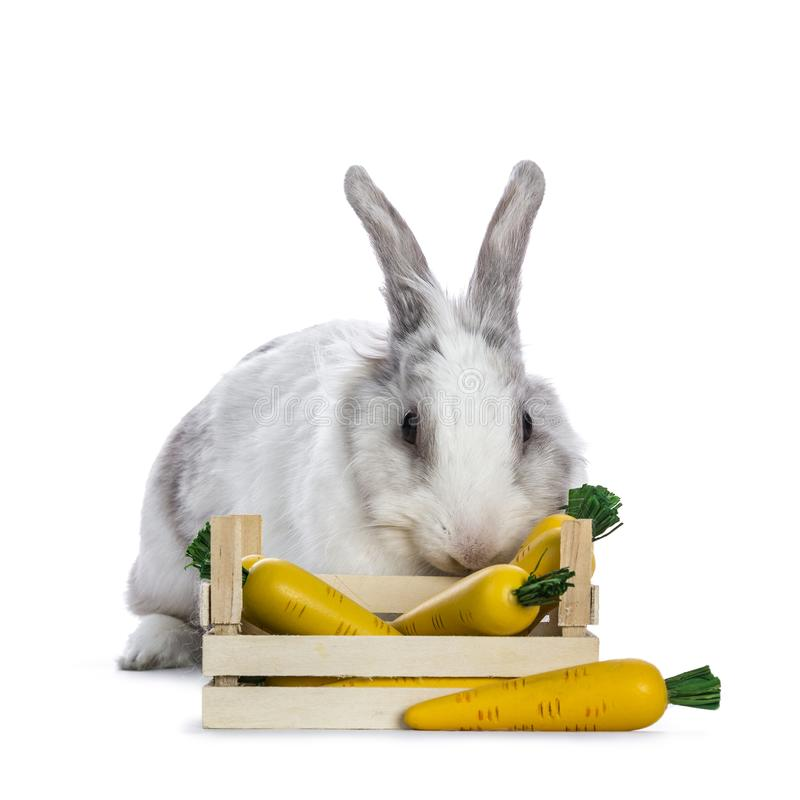 Cute white with grey shorthair bunny sitting. / laying behind wooden box with fake carrots isolated on white background facing camera royalty free stock images