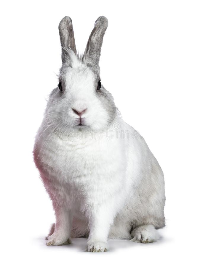 Cute white with grey shorthair bunny. Sitting side ways isolated on white background looking at camera stock photography