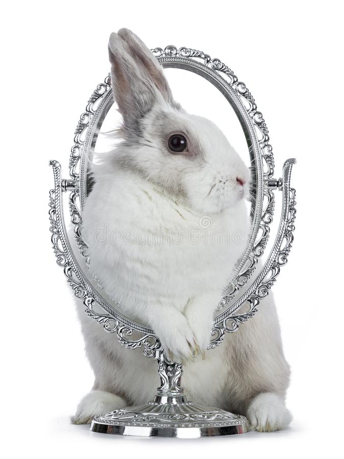 Cute white with grey shorthair bunny. Standing in silver mirror frame isolated on white background facing side ways stock photo
