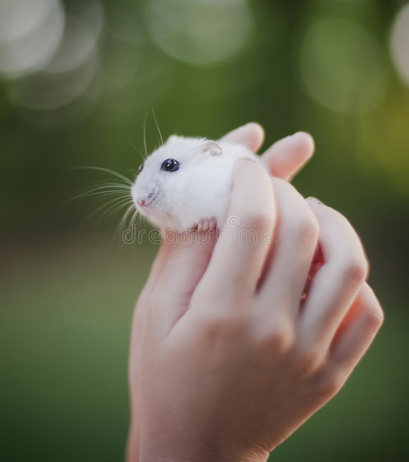 Cute white hamster in human hands - Close up royalty free stock images