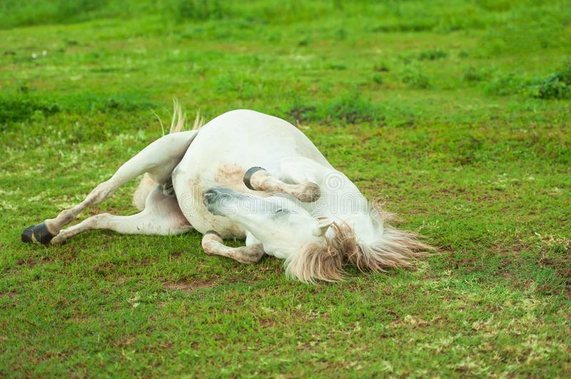 Cute white horse rolling spree on green grass. Thai Horse. Thailand. royalty free stock image