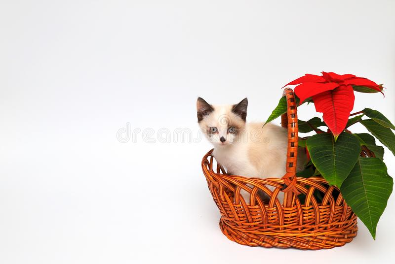 Cute white kitten with brown ears, British Shorthair, peeps out an orange basket with  red flower on a white background, isolate. stock photo