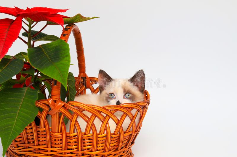 Cute white kitten with brown ears, British Shorthair, peeps out an orange basket with  red flower on a white background, isolate. stock photos
