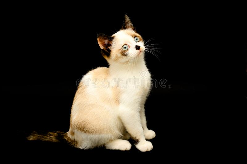 Cute white kitten with brown ears, British Shorthair sitting on a black background. and looks up. Little beautiful cat. With blue eyes, charming pet. Text space royalty free stock photography