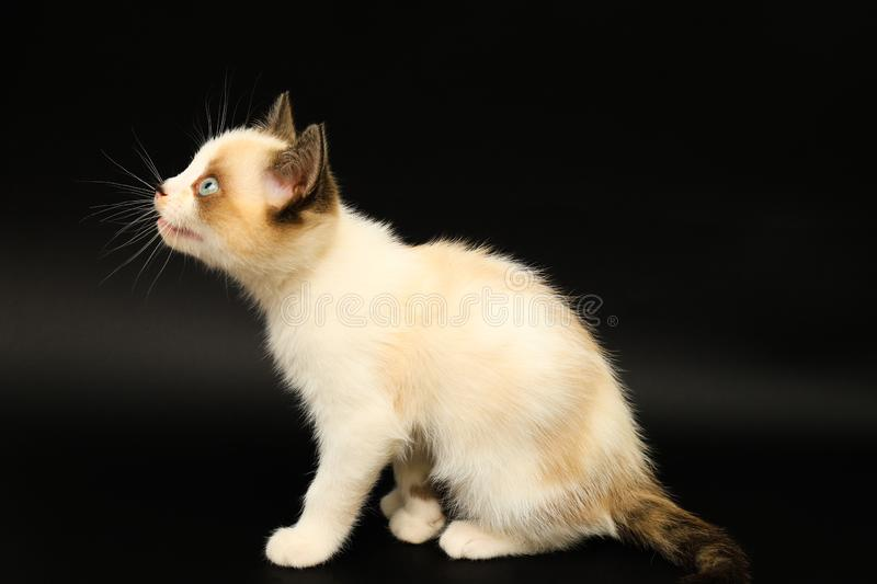 Cute white kitten with brown ears, British Shorthair is walking on a black background. Little beautiful cat with blue eyes looks. royalty free stock image