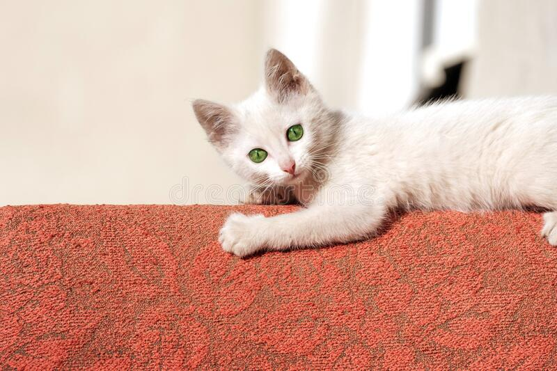 Cute white kitten outdoors on the back of the chair lies in the sun. And looks into the frame royalty free stock images