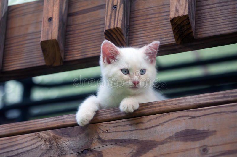 Cute white kitten peeking over rail royalty free stock photo