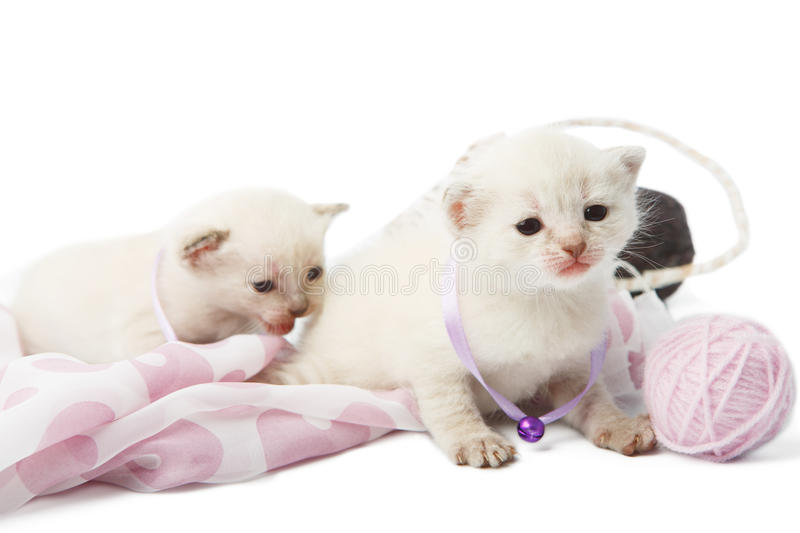 Cute white kittens with yarn woolen balls isolated royalty free stock images