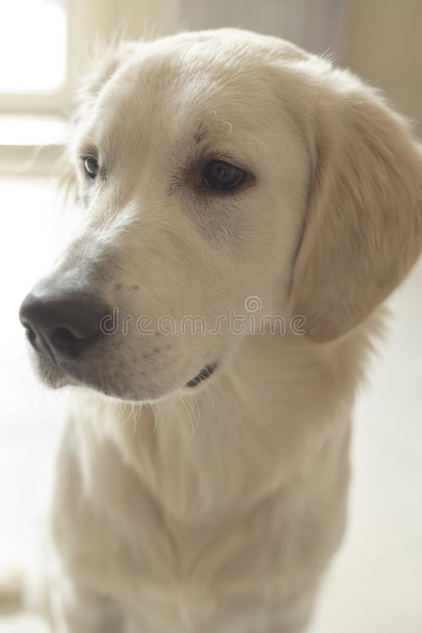 Cute white labrador resting in sunlit room. Close up royalty free stock photo