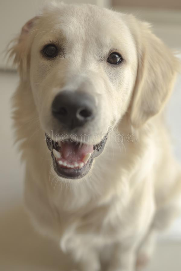 Cute white labrador resting in sunlit room. Close up stock photos