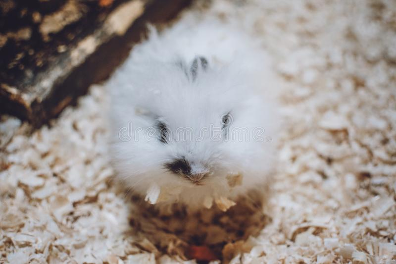 Cute White Lionhead rabbit eating carrot. Rabbit breeding. How to breed your rabbit stock images