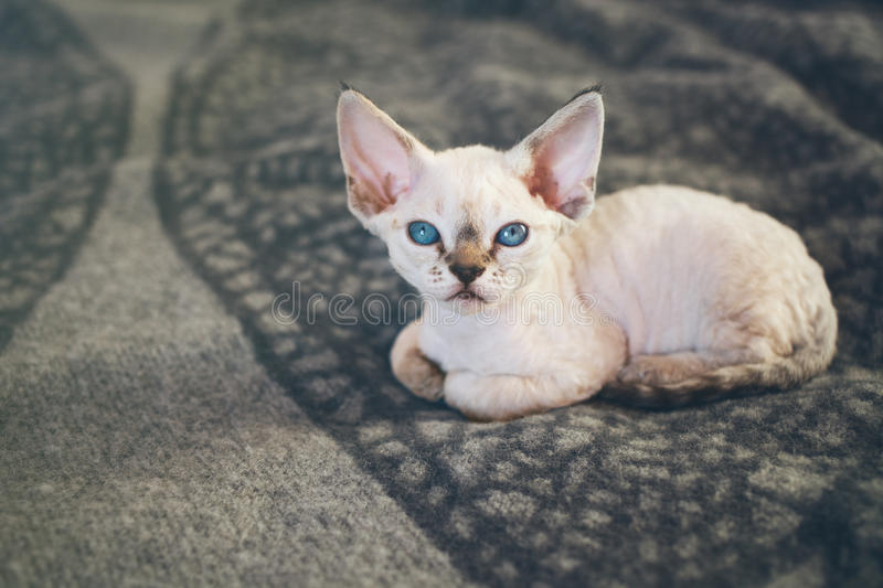 Cute white little kitten is sitting on warm plaid. Close-up of Devon Rex kitten with blue eyes, who is laying down on soft wool blanket and looking at camera stock photography