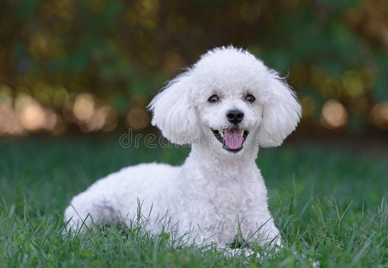 Cute white male poodle puppy royalty free stock photos
