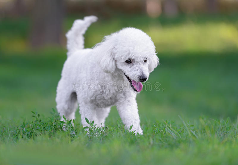 Cute white male poodle puppy. Portrait of a white poodle puppy walking in a park stock photography