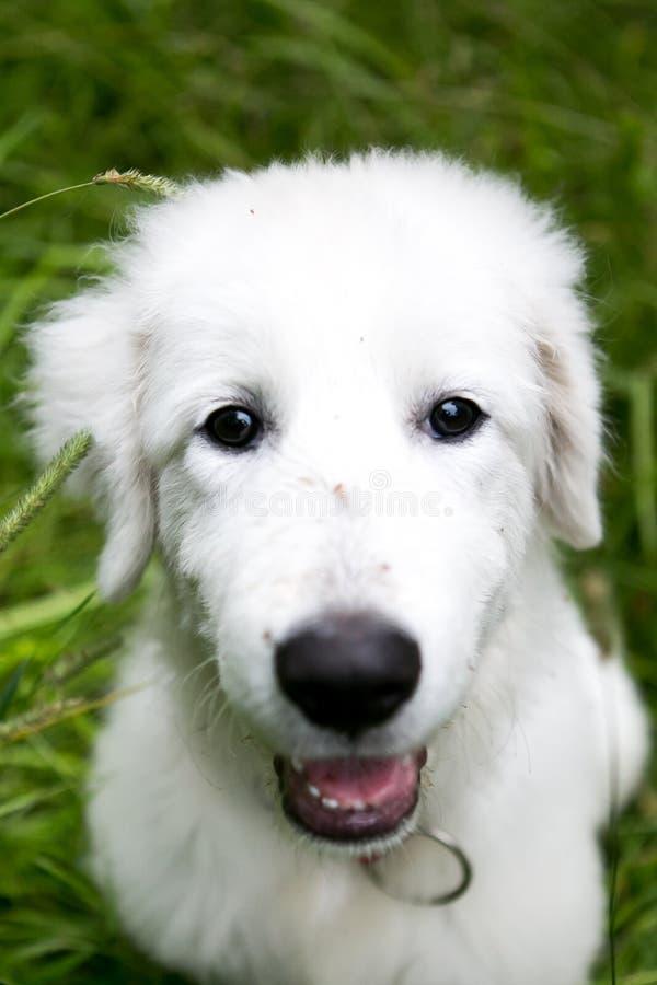 Cute white maremma puppy dog stock photo