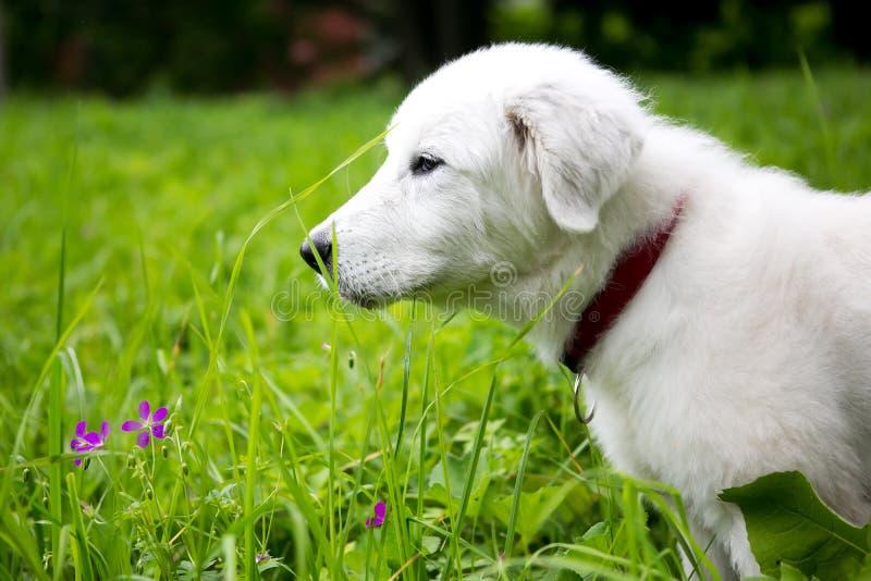 Cute white maremma puppy dog stock image